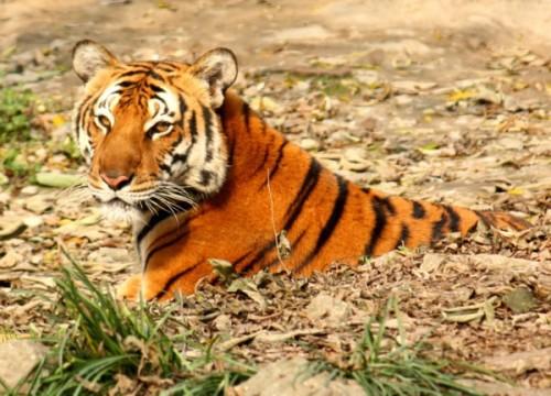 Tiger_ J. Patrick Fischer via Wikimedia Commons