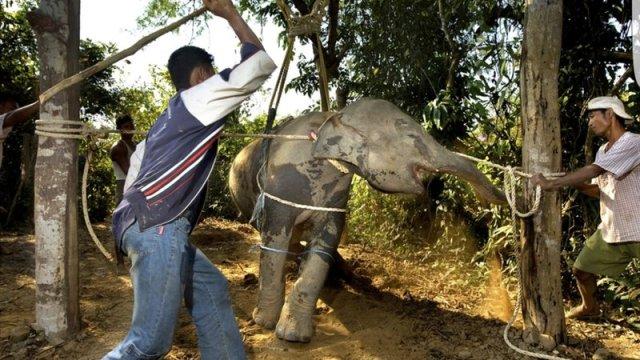 Elephant being broken