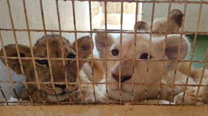 lion-cubs_canned
