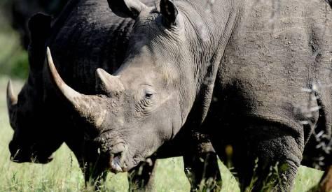Rhino_849x493q70Pinnock-wildlife-sale-MAIN-PHOTO(1)