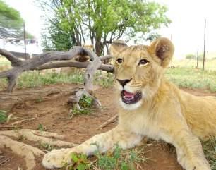Lion cub_george-kevin-richardson-sanctuary-950x_orig