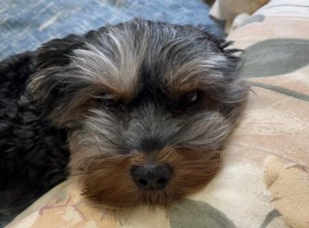 Mia, puppy, yorkie, dog