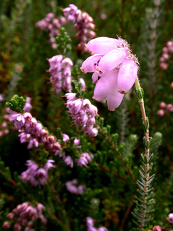 Cross-leaved Heath and Ling © KM