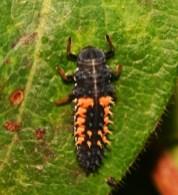 Harlequin_Ladybird_larva_GTa