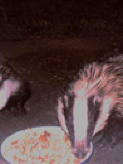 Badgers snacking © RG