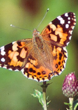 Painted Lady (Vanessa cardui) © MC