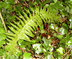 Hard Shield Fern (Polystichum aculeatum) Brighstone Forest© MB