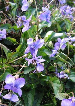 A hybrid Violet (Viola x intersita) found at Cranmore in April 2009. The hybrid of Heath Dog-violet (Viola canina) and Common Dog-violet (Viola riviniana).© GT