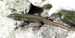 Wall Lizard © RG
