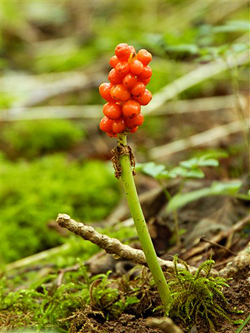 The fruit of Wild Arum © John Crellin