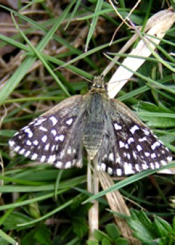 Grizzled Skipper © IF