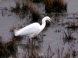 Little Egret © KM