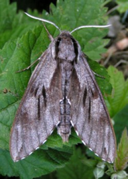 Pine Hawk Moth © IF
