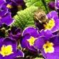 primrosebee