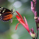 Monarch in Belize