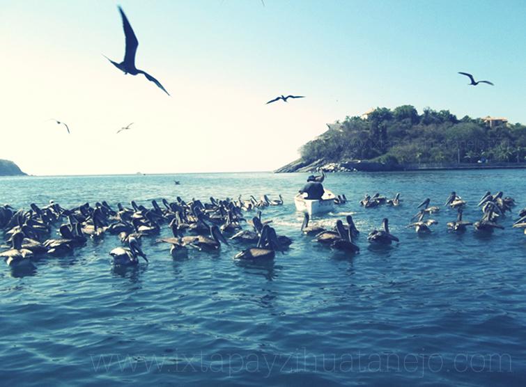 aves-pelicanos-ixtapa-zihuatanejo