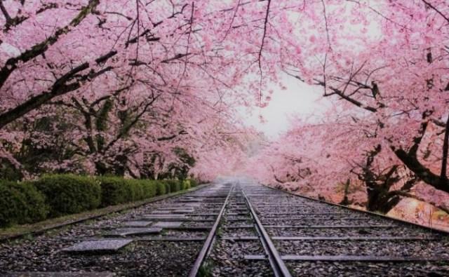 Vizesiz Ülkeler, Japonya, Sakura Çiçeği