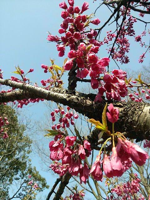 飛鳥山公園 開花予想