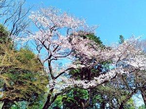 お花見の名所、飛鳥山公園の桜。