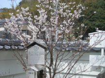 天徳寺の十六日桜