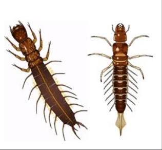 larva Sialis 1
