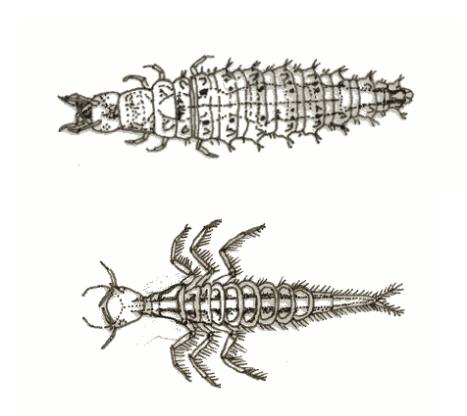 larvas escaravelhos 1