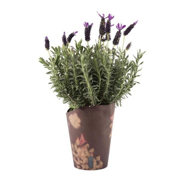 Lavender Shrub - Izami Florist