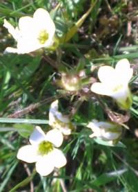 Saxifrage granulée