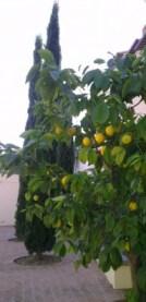 Citronniers et cyprès