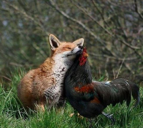 Фото: Петух и лисичка