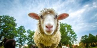 birka bárány