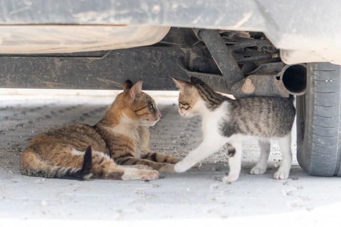Kiscica és macska autó alatt