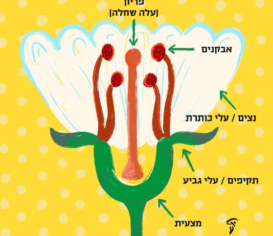 virág részei héberül