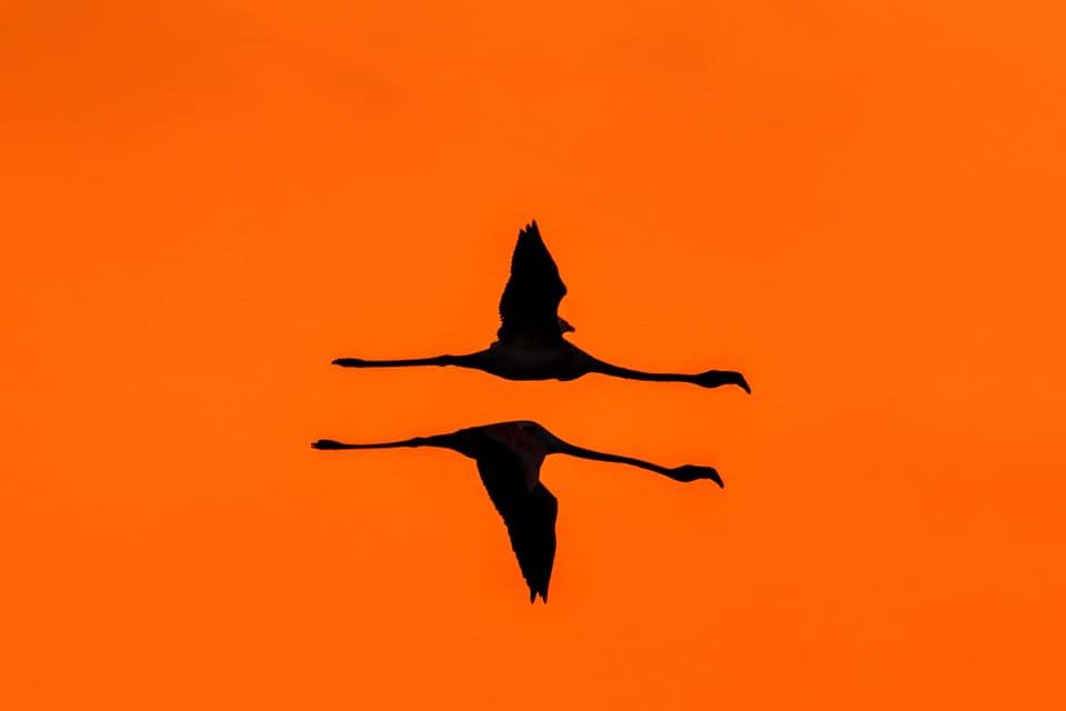 Rózsás flamingó - fotó: Keller Zoltán