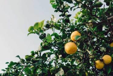 kako-uzgojiti-limun