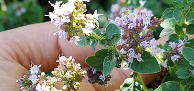 Origano aromatičan začin i izvrstan prirodni lijek
