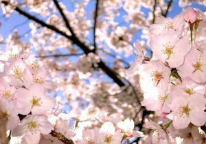 伊豆 ダイビング 城ヶ崎インディーズ 桜