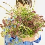 摘み取ったオレガノとミントの花