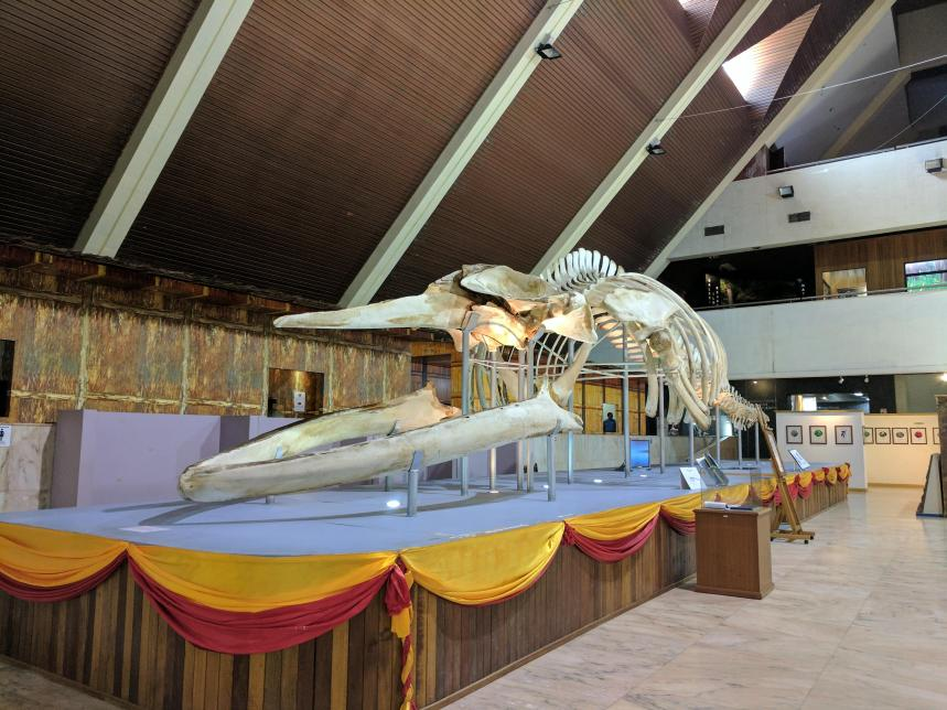 Whale skeleton at Sabah museum