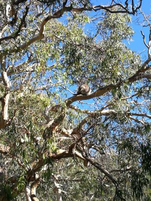 Wild koala!
