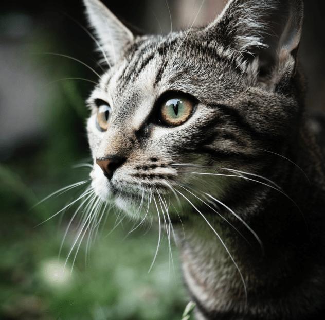 Cat – Original