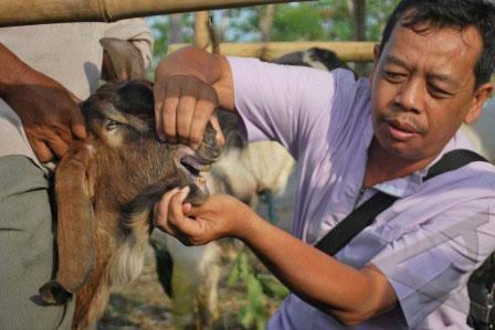Petugas peternakan memeriksa kesehatan hewan kurban. (ANTARAFOTO.COM)