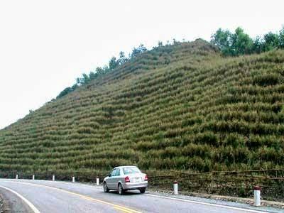 Rumput vetiver dapat mencegah erosi dan longsor. (Istimewa)