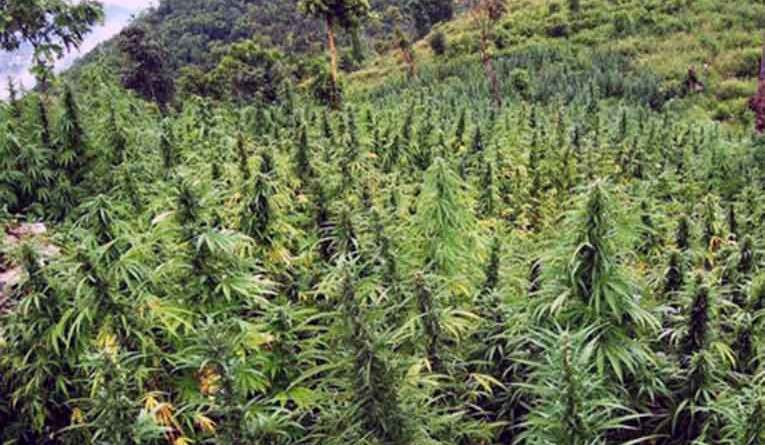 Jamaica must not wait to legalize marijuana