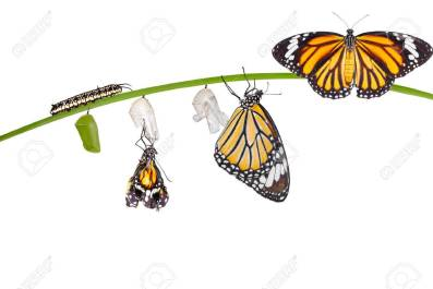 chrysalis butterfly