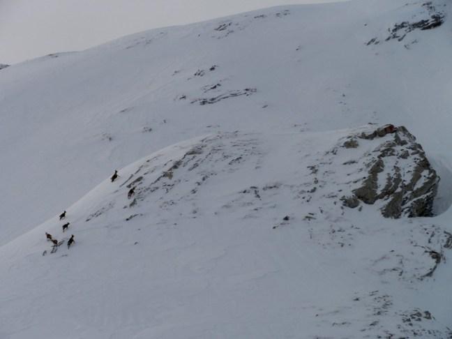 Sarrios correteando por el macizo del Grandilier