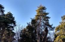 Procesionaria en la copa de uno de los árboles. (Foto: Rebeca Ruiz)