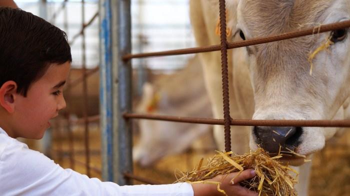 DIFICULTADES. La crisis tiene especial relevancia en la ganadería, que se suma además a la difícil situación que ya arrastraba este ámbito. En la imagen, un niño se acerca al ganado expuesto en la la última edición de Expoforga, que este año no se podrá celebrar. (FOTO: Rebeca Ruiz)