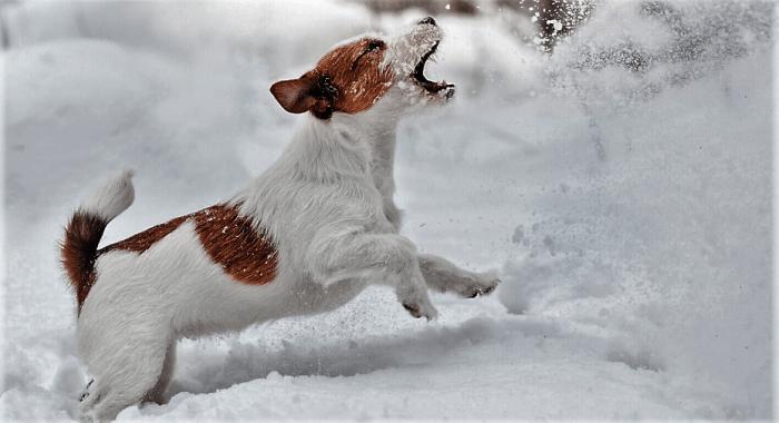 MASCOTA. Los perros también disfrutan de la nieve.