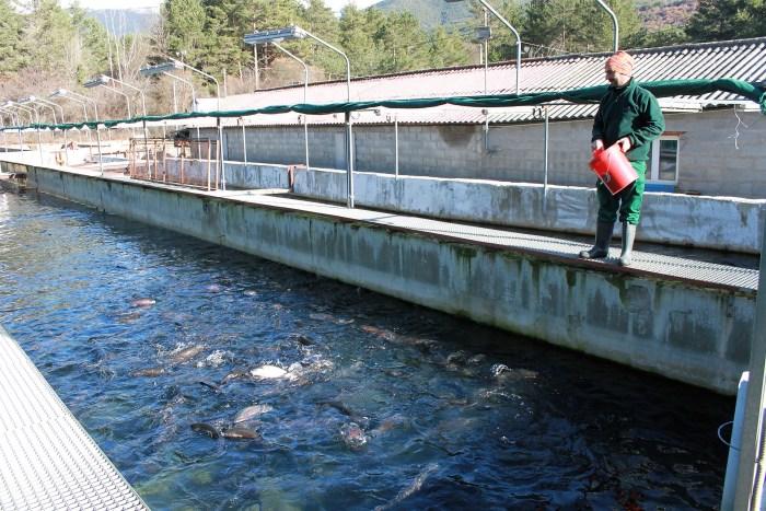 TRUCHAS. Alimentando a las truchas en la piscifactoría.